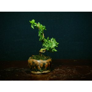 石化檜模様木3-5>豆・ミニ盆栽|izubonstore