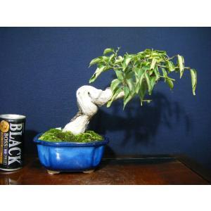 野梅小品盆栽 izubonstore