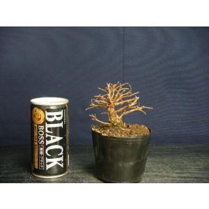 楡けやきミニ盆栽用優良素材>太幹  現物発送|izubonstore