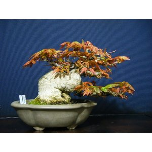 山もみじ小品盆栽 極太幹の高級素材お勧め|izubonstore