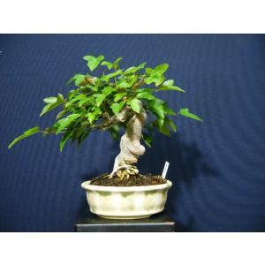 唐カエデ根上り小品盆栽材料|izubonstore
