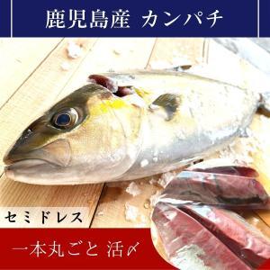 カンパチ 一本丸ごと 活〆 鹿児島産|izumida-sengyo