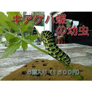 昆虫ペットで人気が高いキアゲハチョウ、セリやパセリ、人参などを食草とし蝶々の仲間としては育てやすく、...