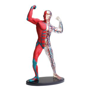 童友社 (再生産)人体模型シリーズ ポーズをとる人体(筋肉と血管)19cm 返品種別B