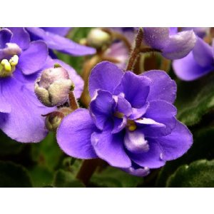 African Violet(アロマ/フレグランス/スティック/ディフューザ/香り/芳香剤/ジュリア/インテリア/ノーブルスパーク/エセンス) julia