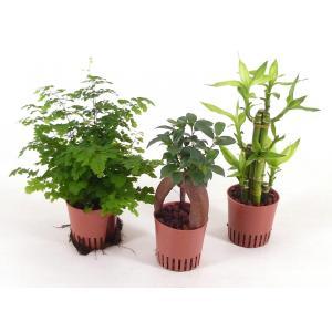 ハイミニ苗 3号 9Φ 観葉植物/ハイドロカルチャー/水耕栽培/インテリアグリーン|julli