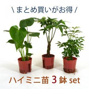 ハイミニ苗 3鉢セット 3号 9Φ 観葉植物/ハイドロカルチャー/水耕栽培/インテリアグリーン|julli