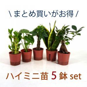ハイミニ苗 5鉢セット 3号 9Φ 観葉植物/ハイドロカルチャー/水耕栽培/インテリアグリーン|julli