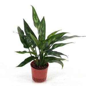 アグラオネマ マリア ハイミニ苗 3号 9Φ 観葉植物/ハイドロカルチャー/水耕栽培/インテリアグリーン|julli