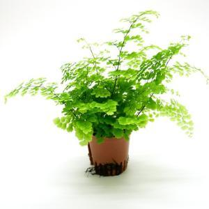 アジアンタム ハイミニ苗 3号 9Φ 観葉植物/ハイドロカルチャー/水耕栽培/インテリアグリーン|julli