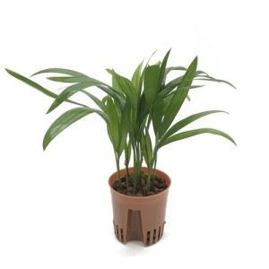 アレカヤシ ハイミニ苗 3号 9Φ 観葉植物/ハイドロカルチャー/水耕栽培/インテリアグリーン|julli