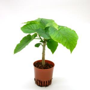 ウンベラータ ハイミニ苗 3号 9Φ 観葉植物/ハイドロカルチャー/水耕栽培/インテリアグリーン|julli