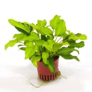 クッカバラ ライム ハイミニ苗 3号 9Φ 観葉植物/ハイドロカルチャー/水耕栽培/インテリアグリーン|julli