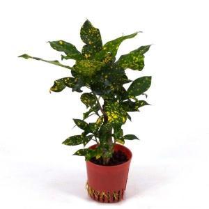 クロトン アキュビフォリア ハイミニ苗 3号 9Φ 観葉植物/ハイドロカルチャー/水耕栽培/インテリアグリーン|julli