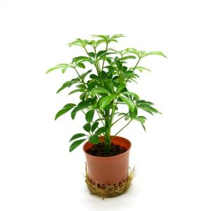 シェフレラ 緑 ハイミニ苗 3号 9Φ 観葉植物/ハイドロカルチャー/水耕栽培/インテリアグリーン|julli