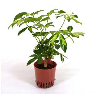 シェフレラ 斑入り ハイミニ苗 3号 9Φ 観葉植物/ハイドロカルチャー/水耕栽培/インテリアグリーン|julli