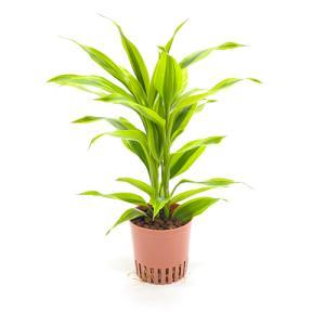 ドラセナ・サンデリアーナ ゴールド ハイミニ苗 3号 9Φ 観葉植物/ハイドロカルチャー/水耕栽培/インテリアグリーン|julli