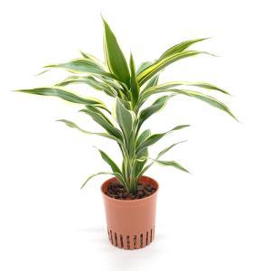 ドラセナ・サンデリアーナ ホワイボリー ハイミニ苗 3号 9Φ 観葉植物/ハイドロカルチャー/水耕栽培/インテリアグリーン|julli