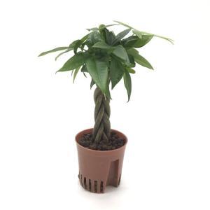 編み込みパキラ ハイミニ苗 3号 9Φ 観葉植物/ハイドロカルチャー/水耕栽培/インテリアグリーン|julli