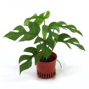 ヒメモンステラ (テトラスペルマ) ハイミニ苗 3号 9Φ 観葉植物/ハイドロカルチャー/水耕栽培/インテリアグリーン|julli