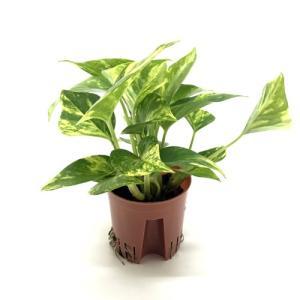 ポトス ゴールド ハイミニ苗 3号 9Φ 観葉植物/ハイドロカルチャー/水耕栽培/インテリアグリーン|julli