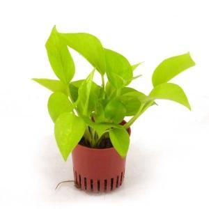 ポトス ライム ハイミニ苗 3号 9Φ 観葉植物/ハイドロカルチャー/水耕栽培/インテリアグリーン|julli