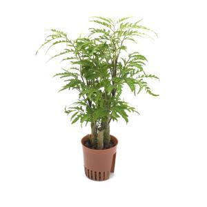 ポリシャス フィリシフォリア ハイミニ苗 3号 9Φ 観葉植物/ハイドロカルチャー/水耕栽培/インテリアグリーン|julli