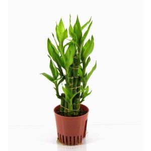 ミリオンバンブー ハイミニ苗 3号 9Φ 観葉植物/ハイドロカルチャー/水耕栽培/インテリアグリーン|julli