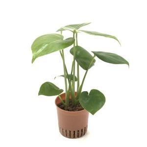 モンステラ ハイミニ苗 3号 9Φ 観葉植物/ハイドロカルチャー/水耕栽培/インテリアグリーン|julli