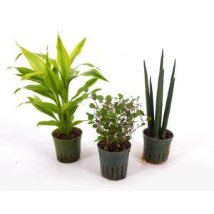 キュート苗 2号 6Φ 観葉植物/ハイドロカルチャー/水耕栽培/インテリアグリーン|julli