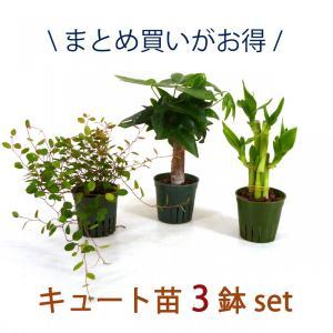 キュート苗 3鉢セット 2号 6Φ 観葉植物/ハイドロカルチャー/水耕栽培/インテリアグリーン|julli