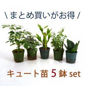 キュート苗 5鉢セット 2号 6Φ 観葉植物/ハイドロカルチャー/水耕栽培/インテリアグリーン|julli