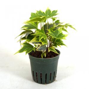 アイビー イエローリップル キュート苗 2号 6Φ 観葉植物/ハイドロカルチャー/水耕栽培/インテリアグリーン|julli
