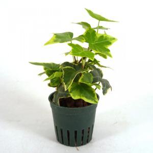 アイビー ゴールデンチャイルド キュート苗 2号 6Φ 観葉植物/ハイドロカルチャー/水耕栽培/インテリアグリーン|julli