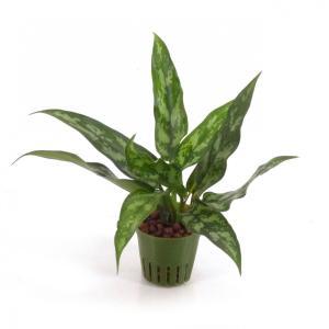 アグラオネマ キュート苗 2号 6Φ 観葉植物/ハイドロカルチャー/水耕栽培/インテリアグリーン|julli