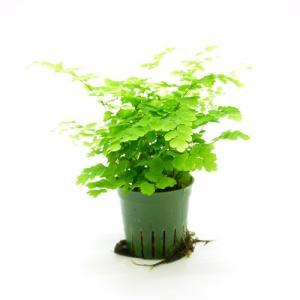 アジアンタム キュート苗 2号 6Φ 観葉植物/ハイドロカルチャー/水耕栽培/インテリアグリーン|julli
