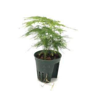 アスパラガス ナナス キュート苗 2号 6Φ 観葉植物/ハイドロカルチャー/水耕栽培/インテリアグリーン|julli