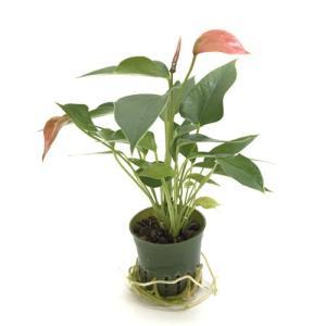 アンスリウム キュート苗 2号 6Φ 観葉植物/ハイドロカルチャー/水耕栽培/インテリアグリーン|julli
