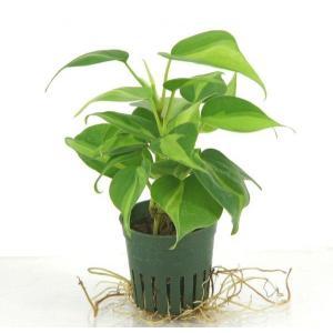 オキシカルジウム キュート苗 2号 6Φ 観葉植物/ハイドロカルチャー/水耕栽培/インテリアグリーン|julli