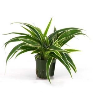 オリヅルラン キュート苗 2号 6Φ 観葉植物/ハイドロカルチャー/水耕栽培/インテリアグリーン|julli