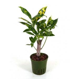 クロトン アキュビフォリア キュート苗 2号 6Φ 観葉植物/ハイドロカルチャー/水耕栽培/インテリアグリーン|julli