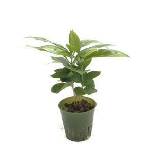コーヒーの木 キュート苗 2号 6Φ 観葉植物/ハイドロカルチャー/水耕栽培/インテリアグリーン|julli