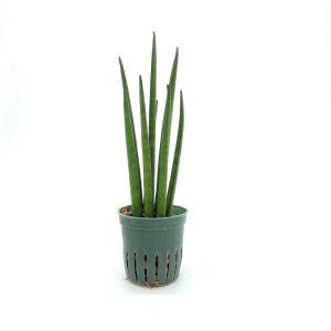 サンスベリア バキュラリス キュート苗 2号 6Φ 観葉植物/ハイドロカルチャー/水耕栽培/インテリアグリーン|julli
