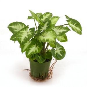 シンゴニウム ピクシー キュート苗 2号 6Φ 観葉植物/ハイドロカルチャー/水耕栽培/インテリアグリーン|julli