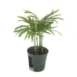 テーブルヤシ キュート苗 2号 6Φ 観葉植物/ハイドロカルチャー/水耕栽培/インテリアグリーン|julli