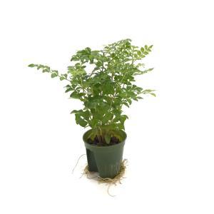 トネリコ キュート苗 2号 6Φ 観葉植物/ハイドロカルチャー/水耕栽培/インテリアグリーン|julli