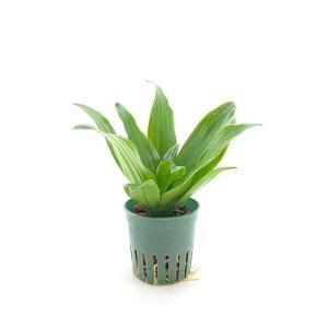 ドラセナ・コンパクタ 緑 キュート苗 2号 6Φ 観葉植物/ハイドロカルチャー/水耕栽培/インテリアグリーン|julli