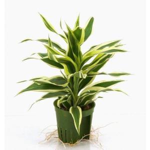 ドラセナ・サンデリアーナ ホワイト キュート苗 2号 6Φ 観葉植物/ハイドロカルチャー/水耕栽培/インテリアグリーン|julli