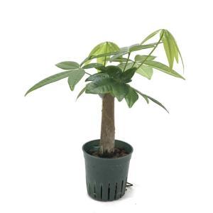 パキラ キュート苗 2号 6Φ 観葉植物/ハイドロカルチャー/水耕栽培/インテリアグリーン|julli