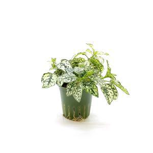 ヒポエステス ホワイト キュート苗 2号 6Φ 観葉植物/ハイドロカルチャー/水耕栽培/インテリアグリーン|julli